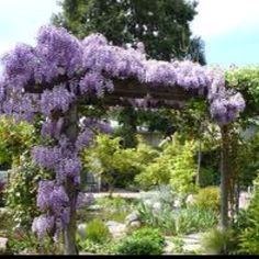 Wysteria vine- I want this in my backyard it's beautiful