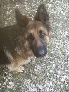 #my #perfect #dog #germanshephard #love #cute