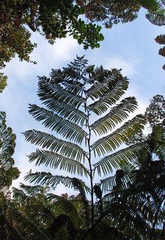USA - Park Narodowy Hawajskich Wulkanów- liść ogromnej paproci