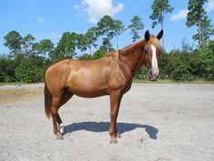 Coco - Chestnut  Tennessee Walking Mare in Fernandina Beach, Florida 32035