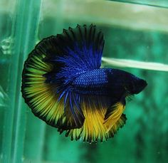 Mustard Dark Blue Gas Dragon Beta Fish Beautiful. I love the colors. Incensewoman