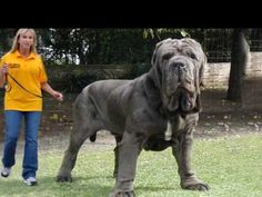 World's Biggest  Dog