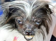 Ten of the most bizarre pictures from the World's Ugliest Dog contest. Shih Tzu, World Ugliest Dog, Ugliest Dog Contest, Dog Competitions, Ugly Dogs, Bizarre Pictures, Crazy Dog, Dog Show, Weird Facts