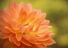 Dahlia in Peach #photography #etsy #flowers #orange #peach #home #decor #homedecor