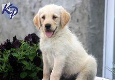 Bubba – Labradoodle Puppy
