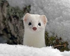 Cute little white Ermine in the snow. Polar Animals, Baby Animals, Cute Animals, Large Animals, Rare Pictures, Animal Pictures, Beautiful Creatures, Animals Beautiful, Creature Feature
