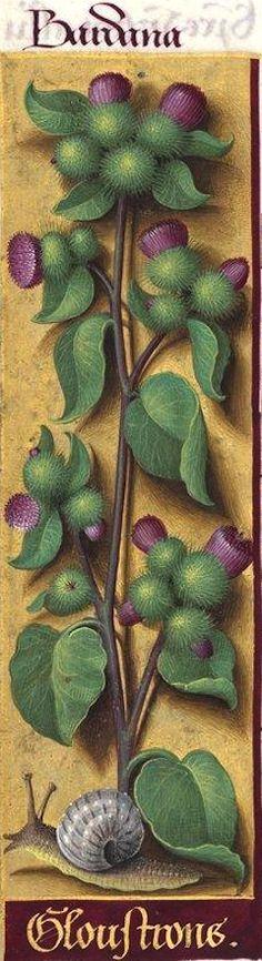 Gloustrons - Bardana (Lappa major DC. = bardane, glouteron) -- Grandes Heures d'Anne de Bretagne, BNF, Ms Latin 9474, 1503-1508, f°83v