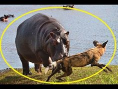 The drama began when the pack of dogs chased an impala into a stretch of river in South Africa's Sabi Sand Game Reserve, where a pod of hippos was enjoying a quiet wallow. Sand Game, Game Reserve, Wild Dogs, Tonne, Hyena, Hippopotamus, Wild And Free, Impala, Funny Animals