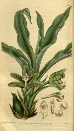 Pabstia placanthera