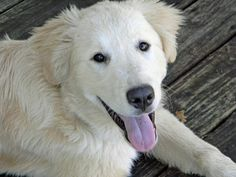 Bear the Great Pyrenees Mix Cute Puppies, Dogs And Puppies, Pyrenees Puppies, The Quiet Ones, Great Pyrenees, Little Critter, Mixed Breed, Dog Photos, Mans Best Friend