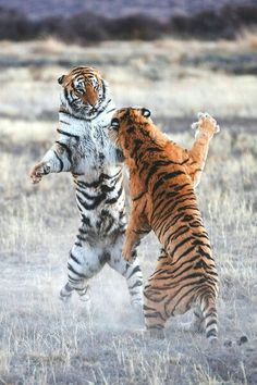 No hugs here. This is combat, tiger ninja style. Do NOT Mess with a Tiger!