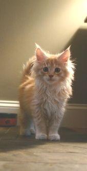 Google Image Result for http://www.maine-coon-cat-nation.com/image-files/orange-maine-coon-kitten.jpg