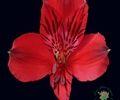 http://www.sierraflowerfinder.com/en/f/alstromeria/1?page=4