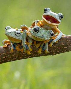 Who fancies a game of leap frog? Amphibians have fun Say cheese: The trio, pictured in Kalimantan Barat, in Indonesia, were happy to pose for the camera, with one offering up a big grin