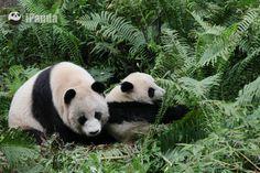 2015大熊猫野化放归启动