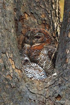 Mottled Wood Owls |Tadoba | By Kishore Damodharan