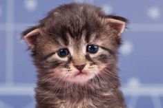 A sad cat crying, tearing up or with watery eyes. Sick Cat Symptoms, Cat Health Care, Pillos, Cat Crying, Cat Years, Sad Cat, Watery Eyes, F2 Savannah Cat, Orange Tabby Cats