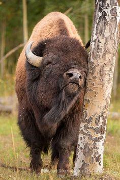 El bisonte americano (Bison bison) Los bisontes tienen un pelaje de color marrón oscuro durante el invierno, y uno más liviano de color marrón claro durante el verano. Llegan a medir hasta 1,80 m de alto y 3 m de largo, y pesan de 450 a 1350 kg. Tanto el macho como la hembra tienen pequeños cuernos curvos, los cuales usan para luchar en época de celo y como defensa.