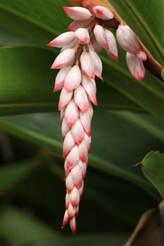 Shell ginger (Alpinia zerumbet)  Another variety of the Ginger Family.