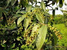 Fruits del fals llorer (Prunus laurocerasus)