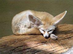 Fantastic Fox, Fabulous Fox, Fennec Fox, Cheetahs, Cute Fox, Leopards, Kangaroo, Wolf, Foxes