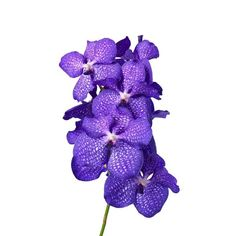 Buy wholesale cut Blue Magic Vanda Orchids for UK delivery. The purple Vanda Orchid Blue Magic is sold 16 flower blooms per box & are ideal wedding flowers. No minimum order required - Floral accessories also available. Purple Wedding Flowers, Exotic Flowers, Tropical Flowers, Flower Bouquet Wedding, Potted Flowers, Prom Flowers, Orchid Flowers, Small Flowers, Fresh Flowers