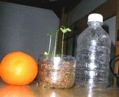 Come far crescere un albero di agrumi da una bottiglia di plastica