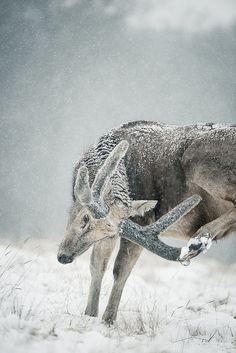 Père David's Deer (Elaphurus davidianus), is a species of deer that is currently extinct in the wild