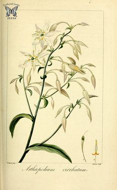 Rock lily. Arthropodium cirrhatum. Herbier général de l'amateur, vol. 8 (1817-1827) [P. Bessa] | by Swallowtail Garden Seeds