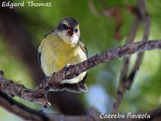A arte de observar pássaros...: Cambacica..um pouco sobre este passarinho tão espe...