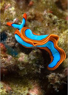 Thuridilla lineolata nudibranch. Even God likes using complimentary colors in His decorating!