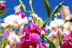 Sweet Peas- Etsy- Organic Seeds Heirloom Seeds Everlasting by TheLittleRagamuffin