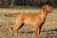 Fox Red Labrador - Beautiful Dog!