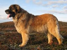 Leonberger - Pictures, Facts, and User Reviews