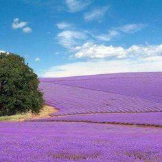 Lavender fields in Fredericksburg Texas