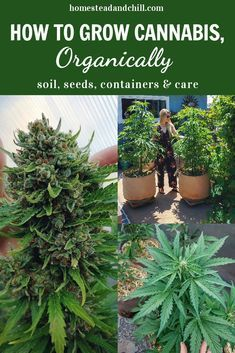 Growing cannabis can feel intimidating and confusing for new growers. I'm here to take some of the mystery out of it, and explain how to easily grow organic cannabis at home! Let's discuss soil options, seed selection, containers, and care! Organic Soil, Grow Organic, Organic Gardening, Marijuana Plants, Cannabis Plant, Cannabis Edibles, Cannabis Seeds Online, Cannabis Growing, Plants