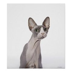 Customizable #Animal #Animal#Body#Part #Animals #Cat #Cat#Lovers #Cat#Photography #Cats #Curiosity #Cute #Cute#Cats #Domestic#Animals #Feline #Looking#At#Camera #Nature #One#Animal #Pets #Photography #Sitting #Small#Business #Sphynx#Hairless#Cat #Surprise #Veterinary#Office Sphynx Cat with surprised expression Poster available WorldWide on http://bit.ly/2guWI5J