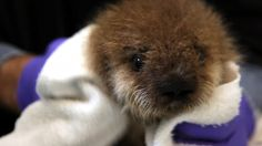 Saving orphaned baby otters, one pup at a time; Evolution and the future of human health - The Washington Post