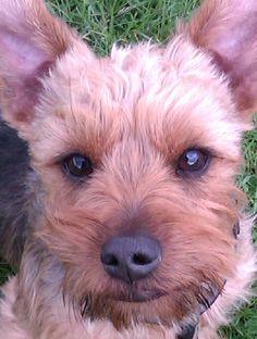 Yorkie !  He is so cute Dog Walking Balham www.harrisons-dogs.co.uk