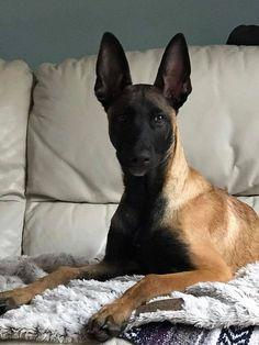 Belgian Shepherd, German Shepherd Dogs, Hog Dog, Dog Cat, Animals And Pets, Cute Animals, Belgian Malinois Puppies, Large Dog Breeds, Dogs Of The World