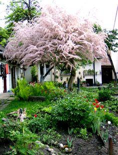 amazeballs tree; tamarix tetandra