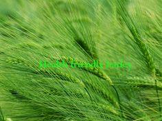 Wonder Remedies: Health Friendly Barley