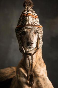 Greyhound, hat, winter, cute