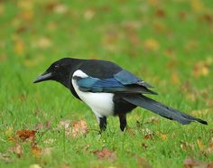Magpie. See this Instagram photo by @taihokka