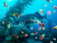 What happens when you flush your meds down the toilet? Do they have any effect in aquatic life? Well, apparently they do! A recent study done with perch showed that drugs can change fish behavior. And they sequester toxic chemicals in their muscle tissues, so a little dilution could be potentially dangerous.