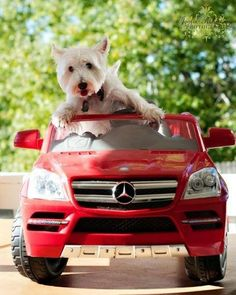 .This Westie is going places!