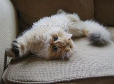 Common Health Problems Of Cats Teacup Persian Kittens, Persian Kittens For Sale, Kitten For Sale, Persian Cats, Guinea Pig Toys, Guinea Pig Care, Guinea Pigs, Persian Cat Breeders, Owning A Cat