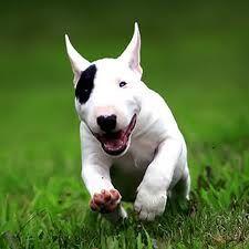 Cute little running Englisch Bullterrier puppy