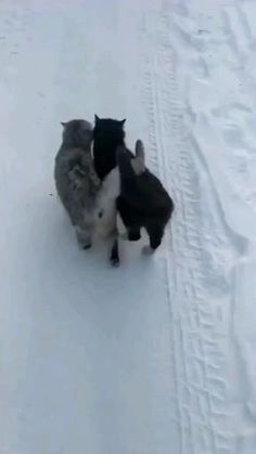 Cute Little Animals, Cute Funny Animals, Cute Cats, Funny Cats, I Love Cats, Crazy Cats, Kittens Cutest, Cats And Kittens, Funny Animal Videos