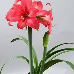 Amaryllis Pink Pizzazz - Clear Cherry Pink Blooms on Compact Stems So very new and exclusive, Amaryllis Pink Pizzazz is only available to us and our customers a